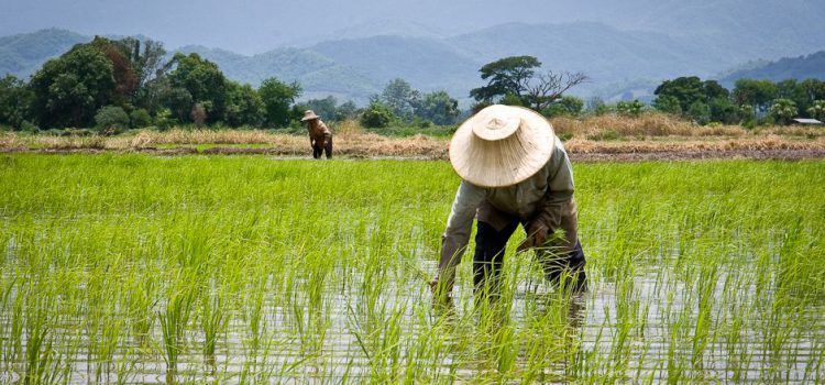3.6.2.3 thailands-rice-farmers